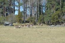 Skyddsjakt på dov fick jägarna att ta ansvar