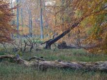 Fortsat skovhugst vil gøre ny urørt skov til et tomt slag i luften