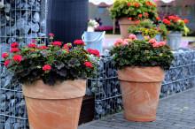 Skönheten sitter i bladet - Pelargonens blomma lyser genom kontrastverkan