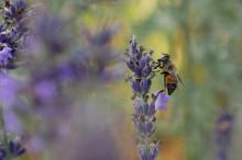 """""""Pollinatörernas ekologiska betydelse är underskattad"""""""