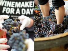 Dags för skörd på The Winery Hotel  – kom och upplev livet på en vingård i skördetid