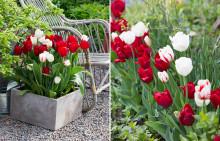 Sätt våren i jorden – Plantera dina tulpanlökar i höst och se fram emot en blommande vår!