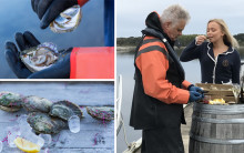 Viltfangede østers fra Grebbestad - et velsmakende håndverk