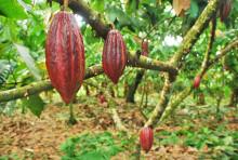Abidjan Cocoa Declaration - Ett viktigt steg mot ett gemensamt arbete för hållbar kakao