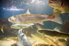 Salmon genome mapped in vast research project
