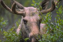 Populær elgbørs