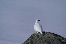 Endring i jakttid for fjellrype i Nordland sesongen 2015