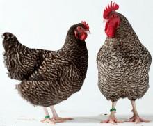 Ny forskning förklarar hur vissa höns får randiga fjädrar