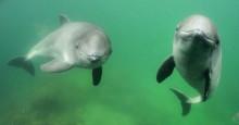 Hur kan vi skydda tumlaren i Östersjön? HaV inbjuder till workshop