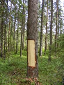 Skörd av tallbark i Lyckseleskog