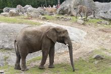Transport av elefant till Ungern