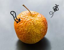 Frukta inte den fallna frukten