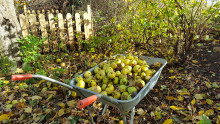 Låt dina ruttna äpplen göra nytta - insamlad frukt blir biogas.