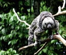 Ekspedition sendt ud for at finde forsvundet abe