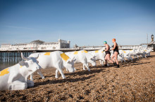 Herd of cows take over Brighton beach for Arla 'Best of Both' campaign