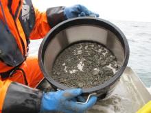 Tilstanden for dyrelivet på blautbotnen i Skagerrak er vorten betre