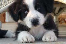 Vältä näitä herkkuja: jouluruoat voivat vaarantaa koiran terveyden