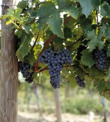 En av Toscanas bästa vinproducenter blir ekologisk – Tenuta Col d'Orcia