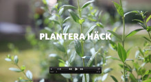 Film - Så här planterar du häckplantor
