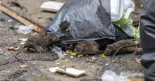 Råttorna har erövrat Göteborg – skaffa dig ett taktiskt övertag