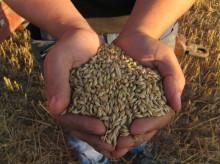 A-Rehu ja K-maatalous yhteistyöhön kasvinviljelyn ja viljakaupan kehittämisessä