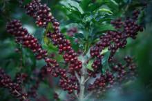Kaffets ursprung – viktigare än någonsin tidigare