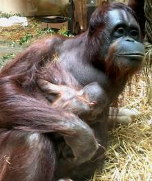 Film på den nyfödda orangutangungen på Borås Djurpark