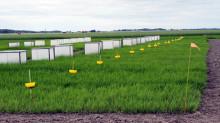 Angrepp av bladlöss minskade när två kornsorter odlades tillsammans