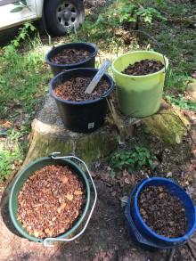 Sådd av bok- och ekollon ger ny spirande skog