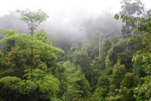 Regnskov vinder over palmeolie på Borneo