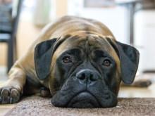 Shoppingsugna hundägare oroliga för att hunden ska bli stulen