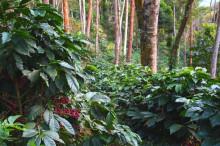 Klimatsmarta jordbruksmetoder kan säkra framtidens kaffe