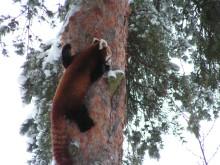 Drill, tamandua ...och pandan Zidane! Unika och otroliga djur på Parken Zoo under sportlovet