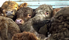 Nya skandalbilder visar djurplågeriet på Europas djurtransporter