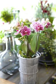 Orkidéutställning Orkidéer med vänner till Strömstad