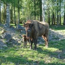 Ny visentkalv född på Kungsbyn Djurpark!