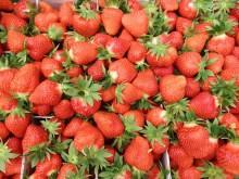 Nu stundar jordgubbsskörden!