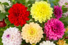 Årets vårlöksnyheter - dahlian i täten för sommarens blomsterbädd
