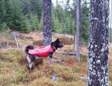 Bidrag för skyddsväst till hund