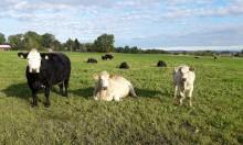 Utrymme för mer kött från betande djur
