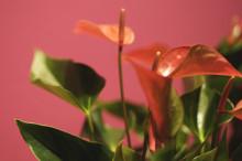 Månadens blomma - december 2011