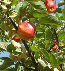 Lilla äppeldagen på Näsby Slott