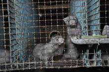 Djurrättsalliansen avslöjar: Jordbruksverket går minkfarmarnas ärenden