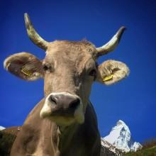 Walliser Kühe, Berliner Kammermusiker  und das höchst gelegene Luxushotel Europas