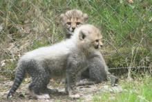 Gepardungarna ute för första gången.