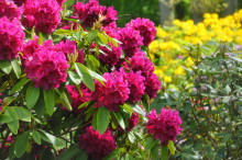 Invigning av Kung Carl XVI Gustafs nya rhododendronkollektion