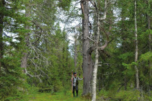 Virkesförrådet fortsätter att öka i allt tätare skogar