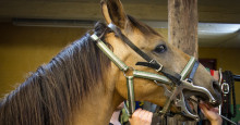 Tandproblem hos hästar