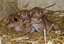 Nyfödda lejon på Borås Djurpark