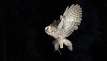 Tidig harpestprognos med hjälp av infekterade djur fångade av pärlugglor